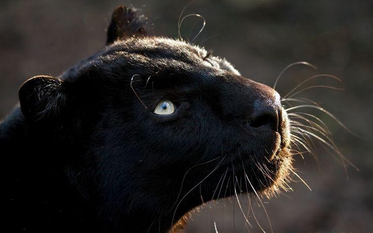 Черный ягуар, блестящий красавец, природа обои, картинки, фото
