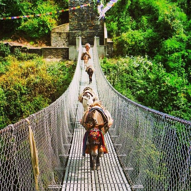 Donkeys in Nepal #himalayas #annapurna #travel