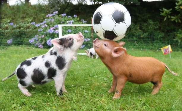 Deux cochons nains jouant au football.