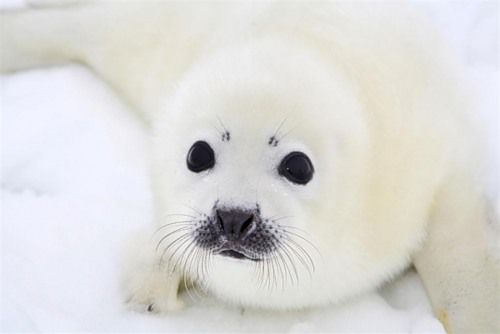baby harp seals are my favorite