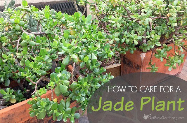 25 best jade plants ideas on pinterest cacti and succulents propagate succulents and cactus. Black Bedroom Furniture Sets. Home Design Ideas