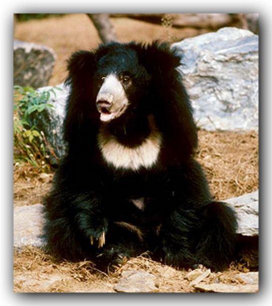 additional sos sloth bear eats