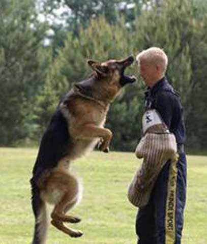 Trained Guard Dogs For Sale Bc