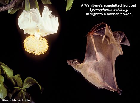 Wahlberg's epauletted fruit bat is found across southern Africa in forest, shrubland, and savanna habitats