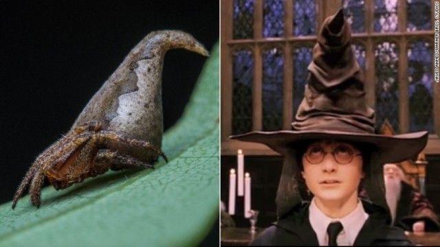 インドの科学者らが発見した新種のクモに、人気ファンタジー「ハリー・ポッター」シリーズにちなんだ名前が付けられて注目を集めている。  シリーズの舞台、ホグワーツ魔法魔術学校で新入生が入る寮を振り分ける「組分け帽子」。クモは三角形の体がこの帽子に似ている。  そこで「トガリオニグモ属」という分類を示す「...