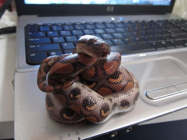 As a citizen reporter, this snake plans to blog about any abhorrent anti-snake activity that occurs as a result of St. Patrick's Day. | Community Post: 12 Snakes That Are Not Looking Forward To St. Patrick's Day