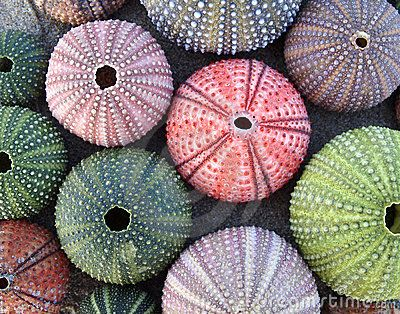 Google Image Result for http://www.dreamstime.com/variety-of-colorful-sea-urchins-thumb17663227.jpg