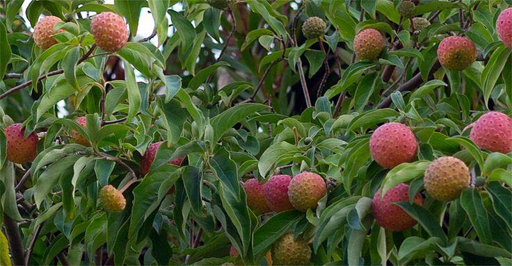 Kousa dogwood fruit