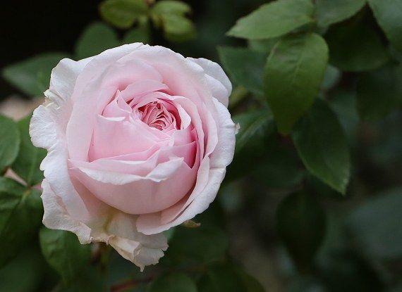 ナポレオン妃ジョセフィーヌの薔薇園の名を冠した薔薇☆スヴニール・ドゥ・ラ・マルメゾン | 花と実と魔女と - 楽天ブログ