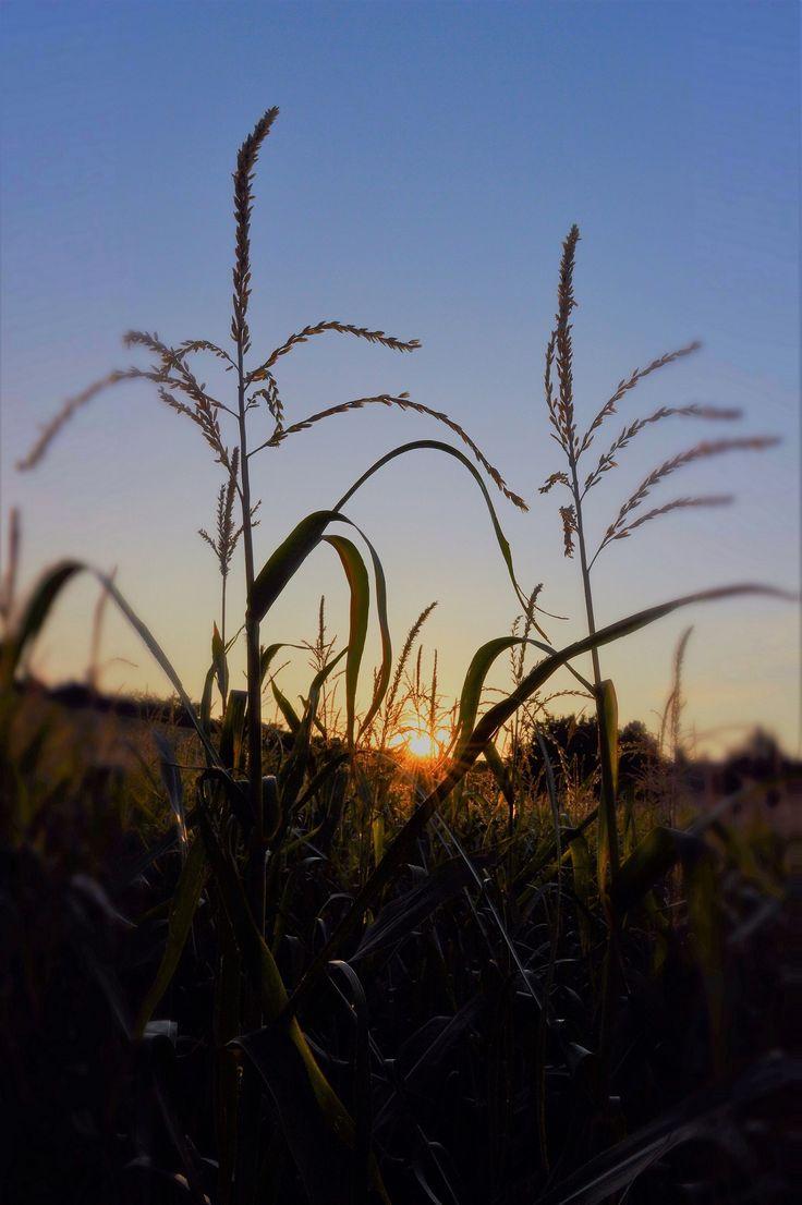 Gáti Erika Reggeli ébredés A kép Söréden készült, ugyan nem látszik, de tényleg onnan van. A Barkócaberkenye táborban voltam én is, és a korai kelés alkalmával készült! Reggeli séta alkalmával, készült a fotó, a kukoricás felett a kelő nap ihlette. Több kép Erikától: www.facebook.com/erika.gati.3