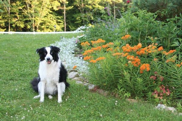 Speck, the Sousas' border collie, cohosts habitat garden tours of this four-acre central Massachusetts farm. Here he shows off native butterfly milkweed, a great plant for sunny spots.: Cohost Habitats, Habitats Gardens, Border Collies, Native Butterflies, Sunny Spots, Massachusetts Farms, Butterflies Milkw, Central Massachusetts, Gardens Tours