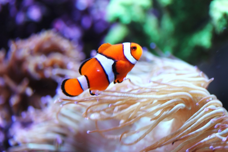 17 best images about fish on pinterest clownfish for Clown fish scientific name
