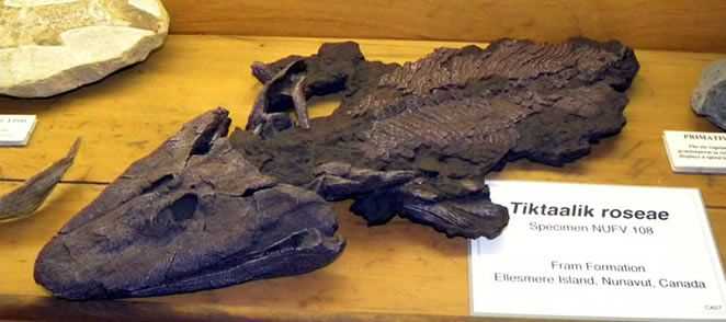 Natural History Museum, Sierra College - Fossil  Tiktaalik roseae  http://www.sierracollege.edu/about-us/beyond-the-classroom/nat-hist-museum/index.php#