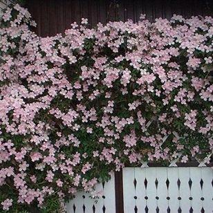 Clematis montana var rubens Klätterväxt Blomning: maj-juni