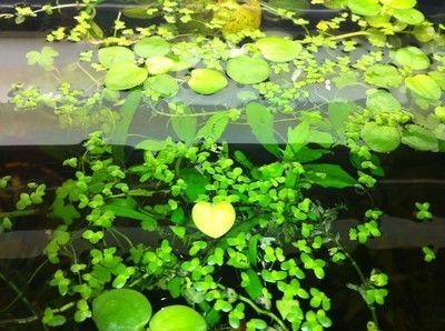 Live frogbit floating live pond aquarium plants 5 free for Floating fish aquarium for pond