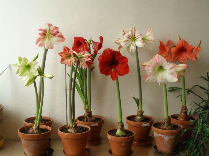 Die besten 25 amarylis ideen auf pinterest amaryllis for Repousse amaryllis