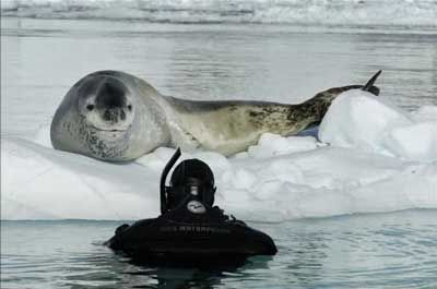 An interview with wildlife photographer  Paul Nicklen about his most memorable wildlife encounter. When he was photographing a story about leopard seals in Antarctica last year for National Geographic, he met this 12-ft-long, over 1,000-lb female leopard seal who adopted him and kept trying to teach him how to hunt penguins and over a period of several days kept bringing him penguins to eat.