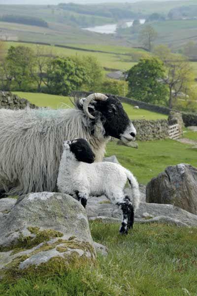 Swaledale Sheep- Harrogate, Yorkshire UK