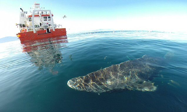 Greenland Shark is world's longest living vertebrate, living up to 400 - new info about the age of the oldest living sharks. very cool! lj