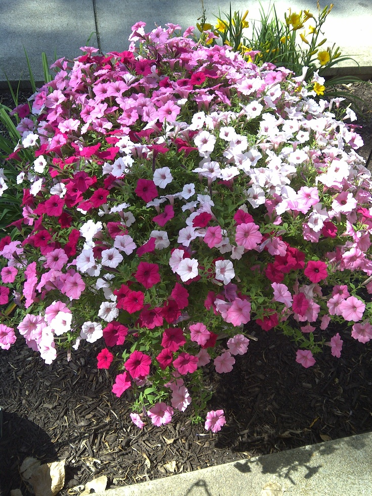 14 best images about wave petunias on pinterest - Wave petunias in containers ...