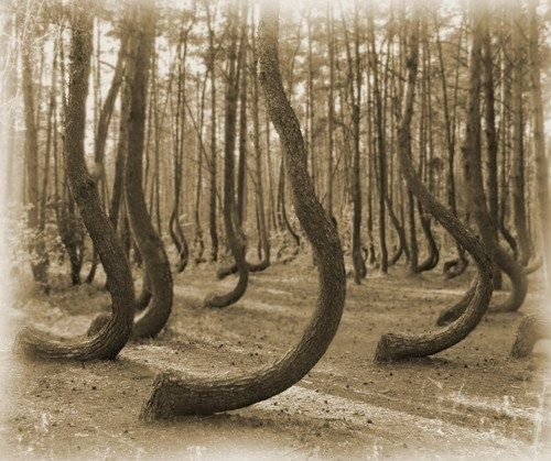 Best Heritage And Genealogy Images On Pinterest Family Trees - To this day the mystery of polands crooked forest remains unexplained