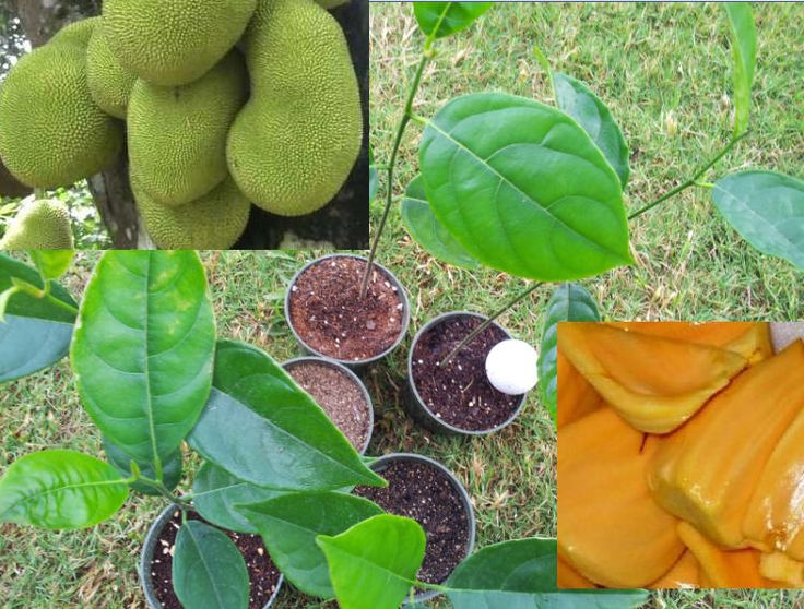 jackfruit largest tree borne fruit Fruit: jackfruit is the largest tree-borne fruit in the world, reaching 80 pounds in weight and up to 36 inches long and 20 inches in diameter.