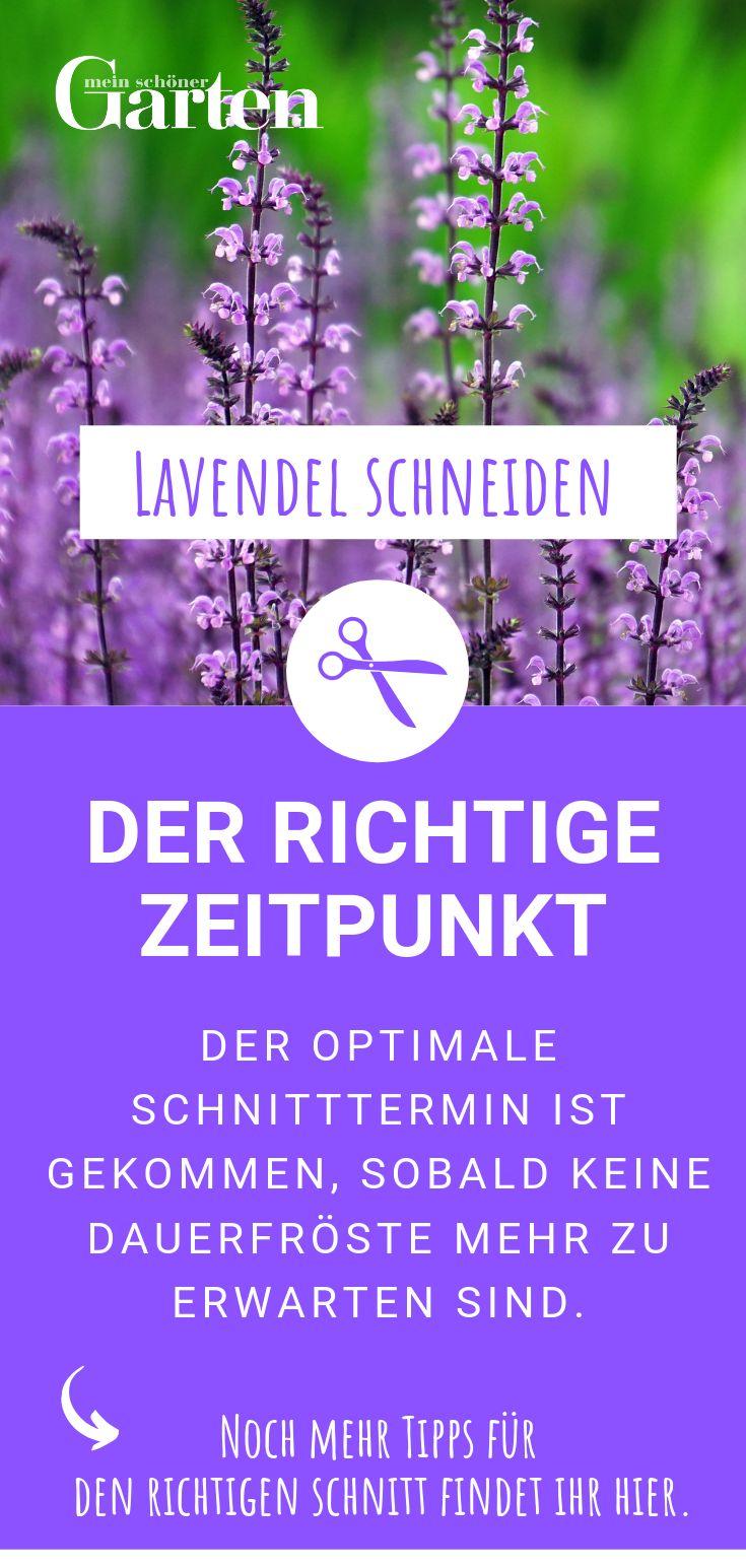 Lavendel schneiden: Der richtige Zeitpunkt