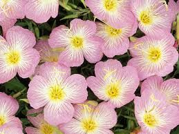 """primroses (February birth flower), (Victorian meaning - """"I can't live without you"""")"""