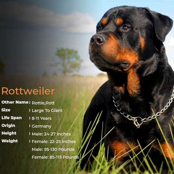 Rottweiler Large Dog Breed Large Dog Breeds Rottweiler Dog Breed Dog Breeds