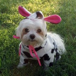 Best 25+ Small dog halloween costumes ideas on Pinterest | Small ...