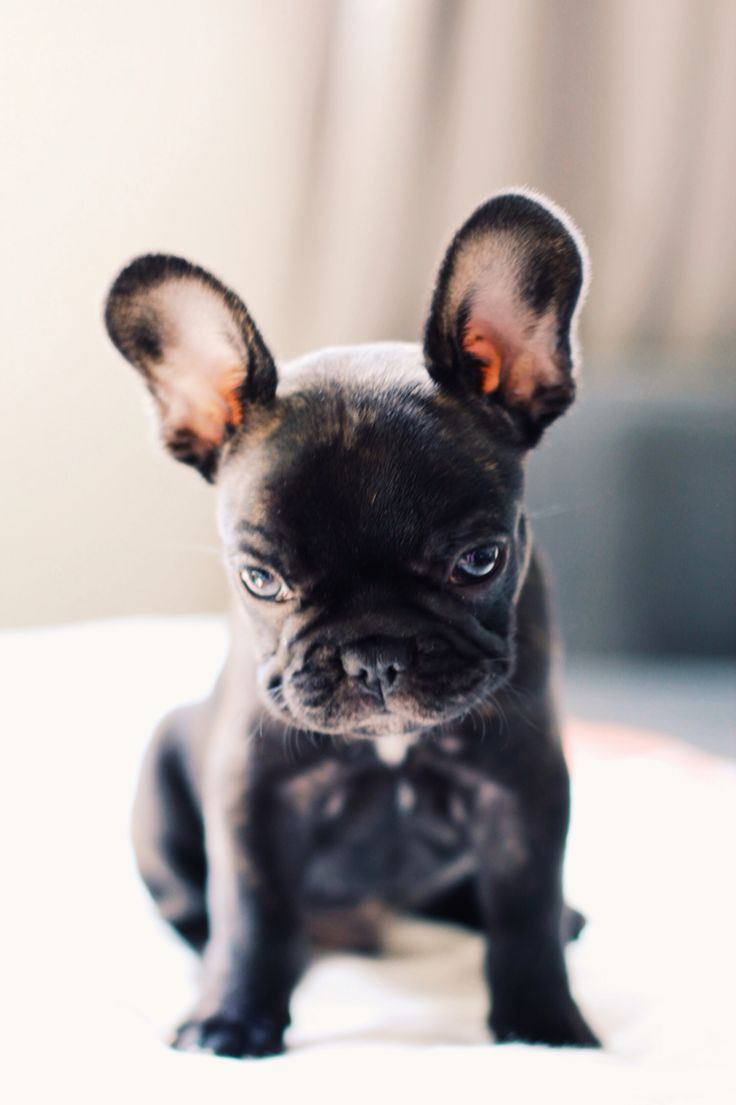 Biscuit the Frenchie, French Bulldog Puppy