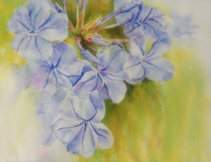 Blue plumbago watercolour