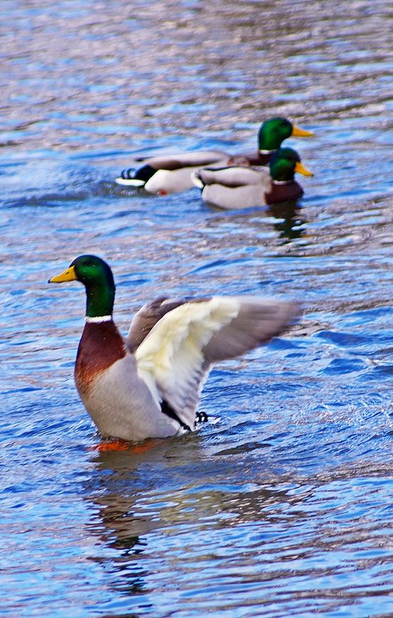 The mallard is thought to be the most abundant and wide-ranging duck on Earth.  P.S. There will certainly be ducks in heaven.