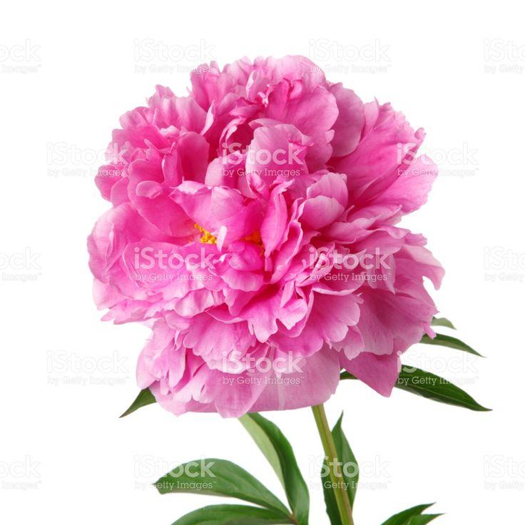 Pink peony isolated on white background Стоковые фото Стоковая фотография