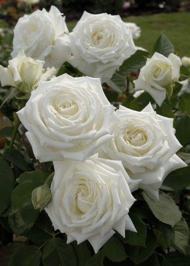 POPE JOHN PAUL II hybrid tea rose - everblooming and very fragrant - love this