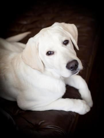 There is nothing that is prettier than a solid white lab<3