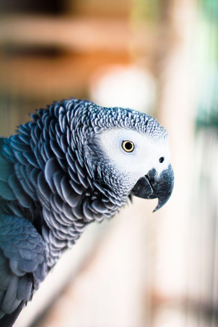 Perroquet. African Grey Parrot.