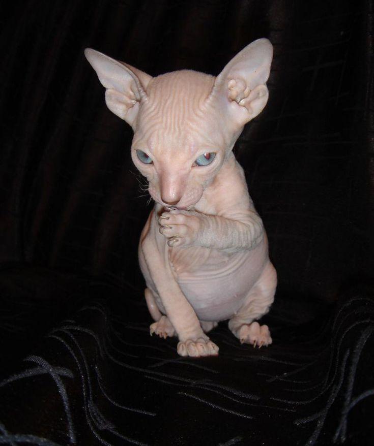 Albino Sphynx cat ♥ | Albino Love | Pinterest