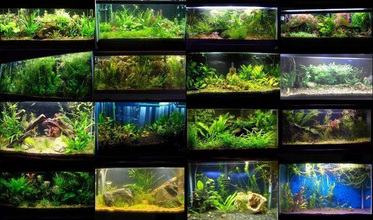 Mejores ideas sobre acuaticas para bellos plantados y for Mejores peces para acuario