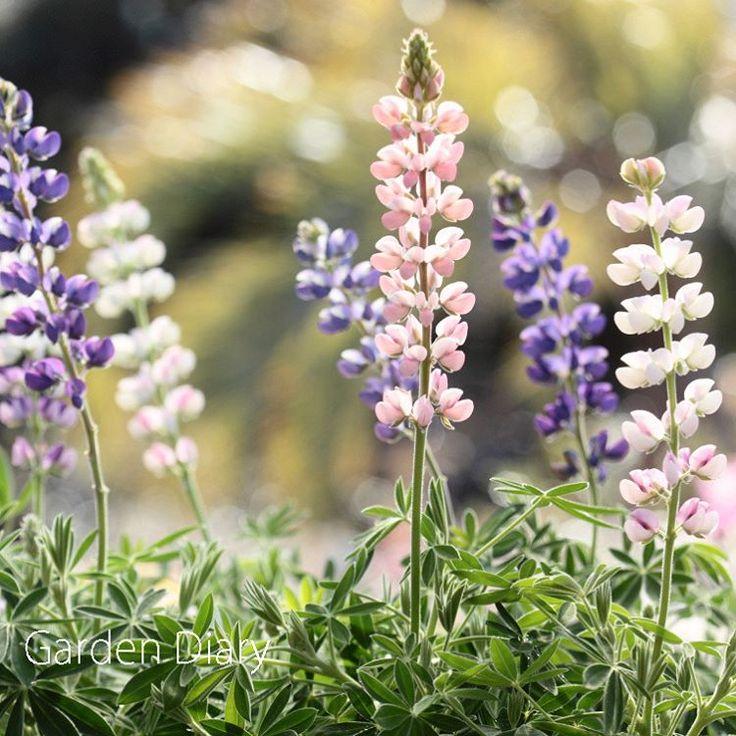 """""""Mi piace"""": 937, commenti: 7 - Garden Diary ガーデンダイアリー (@gardendiary2014) su Instagram: """"宝石みたいにきらきら輝くこの花は、、 ルピナス'ピクシー デライト' . ルピナスといえば、もっと丈も高く、 見るからに丈夫そうな植物ですが、 この'ピクシー デライト'は、 光に透けて、…"""""""