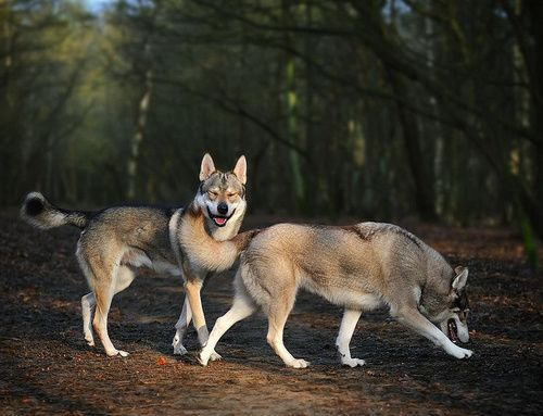 140 best images about Tamaskan Dog on Pinterest   Wolves, Rare dog ...