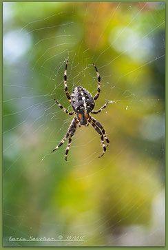 Herbst, Autumn, Fall, Jahreszeiten, Biogarten, Naturgarten, Hortus, tiere, Insekten, Spinnen, Kreuzspinne, Flares, Netz, Spinnennetz, Radnetz, leuchtend