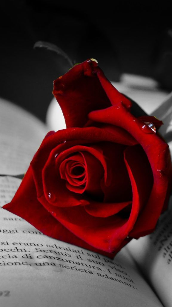 Pin By Whatsapp Status On Rose Day Images Rose Wallpaper Red Roses Beautiful Pink Flowers