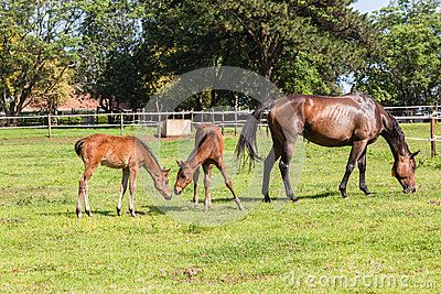Horse mare and foals colt on stud farm field.