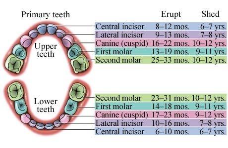 General timeline of cutting and losing teeth. Teething timeline.