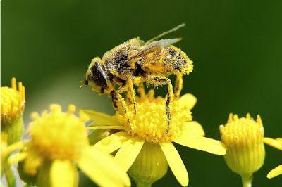 BELLAS IMÁGENES DE ABEJAS TRABAJANDO - BEAUTIFUL IMAGES OF BEES WORKING