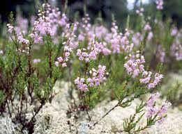 kanerva-- Calluna vulgaris
