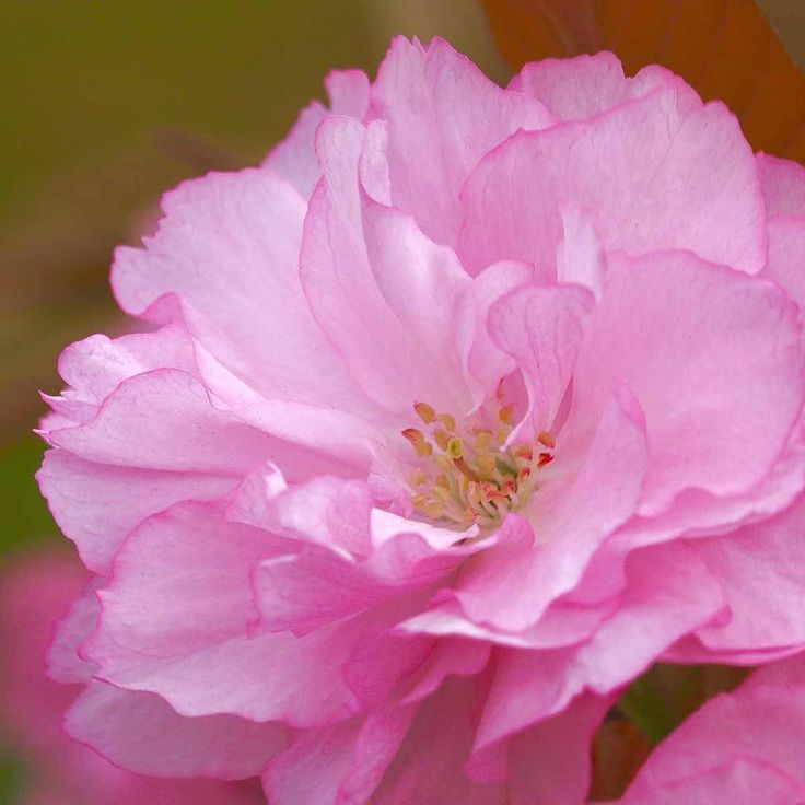 The thickest cherry blossoms are now at their peak in New York heavy pink pompoms lining Park Avenue and parts of Central Park.  #cherryblossom #cherry #blossom #springflowers #spring #flowers #sakura #yaezakura #pink #prettyinpink #centralpark #manhattan #newyorkcity #nyc #newyork #petersealystudio #newyorkartist