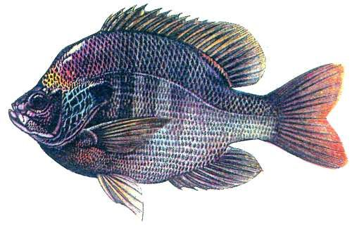 24 best fish species in healthy florida lakes images on for Healthiest types of fish