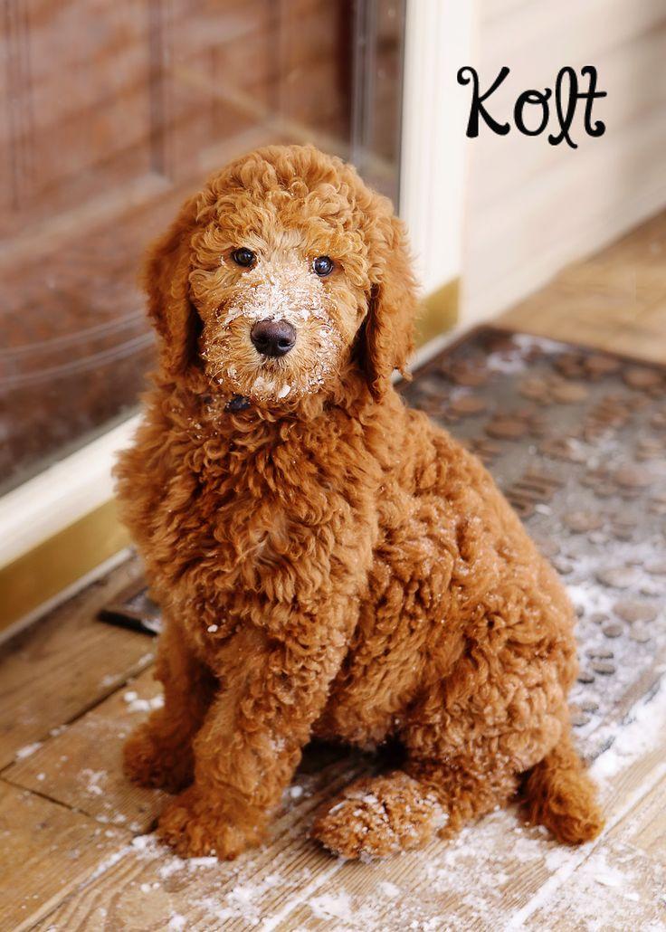 Kolt 10 weeks red standard poodle sugarnspicestandards.com